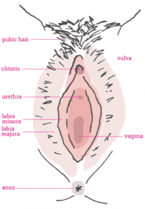 The vulva is all of the above, it is the external female genitalia